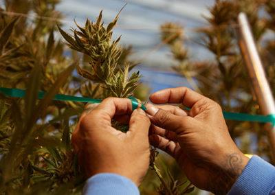 California-Cannabis-Farm-Loudpack